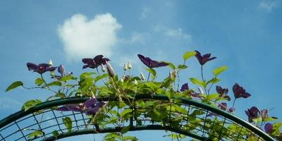Поделитесь опытом выращивания Клематиса Джипси Куин