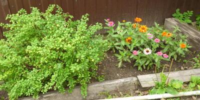 Что можно посадить из многолетних невысоких цветов на клумбе, где под слоем грунта лежит цементная плита?