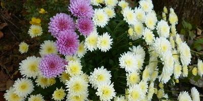 Осенний сюрприз моих хризантем