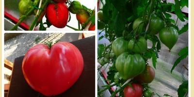 Про помидоры