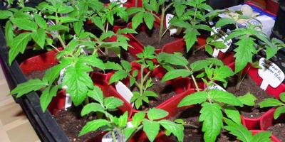 Домашняя работа №1. Рассада томатов: мои альфа и омега