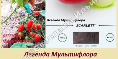 Мои любимые сложнокистевые томаты