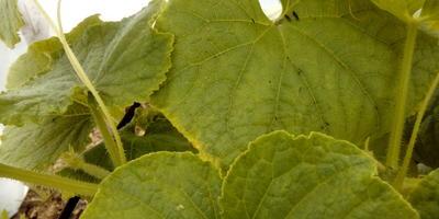 Что (или кто) это на листиках огурцов? И что делать?