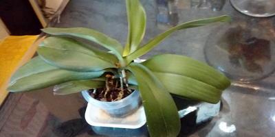 Должны ли быть корни под каждым листом орхидеи?