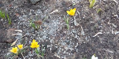 """Первые цветы на моей городской """"даче"""" - клумбе"""