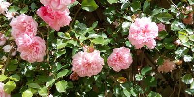 Розы Италии (очень много фото)