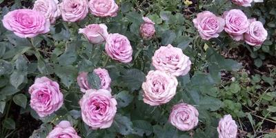 Бывает ли такое, чтобы на кусте с розовыми розами появились красные бутоны?