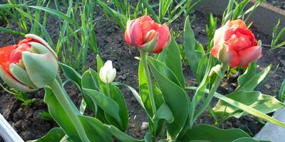 Мой тюльпановый май