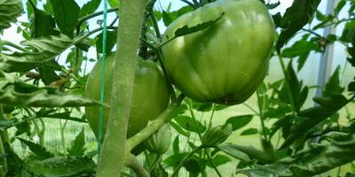 Ах, какие томатики висят, любо-дорого смотреть