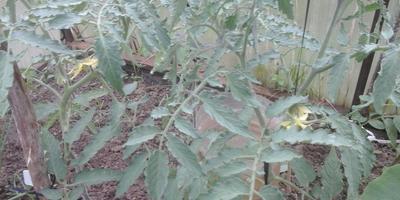 У Сокровища Инков и Лирики начали завязываться плоды