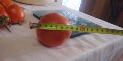 Вот и Лирика поспела, снимаем урожай с куста 1! 28.07.18