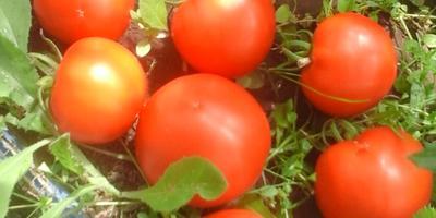 Второй сбор плодов с куста томата Лирика 1!