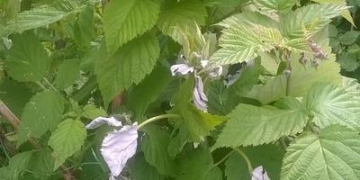 Почему высыхают листья у малины?