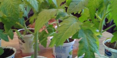 Переезд рассады томатов в теплицу