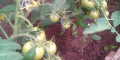 После высадки томатов Лирика F1 прошло чуть больше месяца