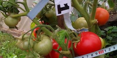 Сбор томатов с гибрида Лирика (номер 1)