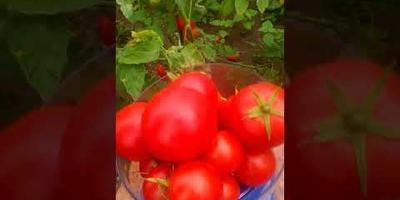 Сбор урожая с гибрида Лирика №6 1 августа
