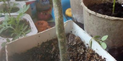 Почему у рассады томатов опадают зеленые листья?