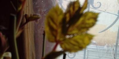 Кто сталкивался с мозаикой на розах? Подскажите, это она?