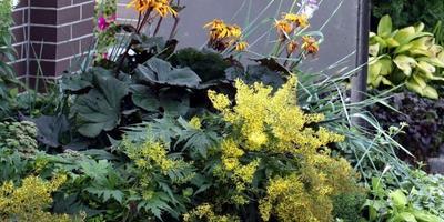 Бузульники - лучики солнца в тенистом саду