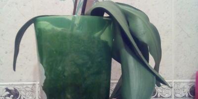 Почему у фаленопсиса вянут листья?