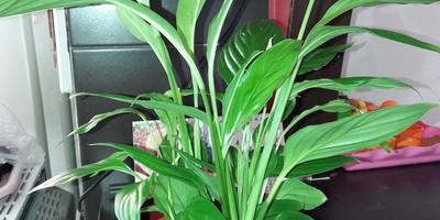 Можно ли пересаживать цветущий спатифиллум?