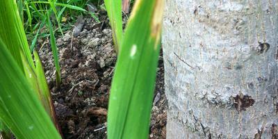 По какой причине могли пожелтеть концы листьев у гладиолуса?