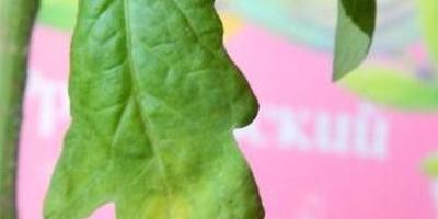 Серебряная вода для помидоров: как я спасла рассаду томатов