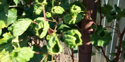 Помогите определить болезнь груши и винограда. Как это лечить?