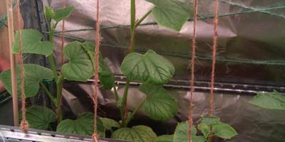 Листья огурца закручиваются, некоторые бугристые, неровные. В чем причина?