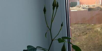 Можно ли пересаживать розу с бутонами в открытый грунт?