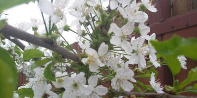 Расцветают яблони и вишни...