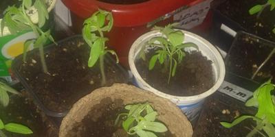 Можно ли одновременно опрыскать рассаду томатов хелатом железа и полить Малышком для рассады?