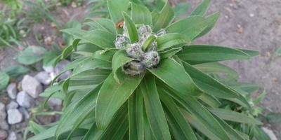 Чем болеет лилия и как можно справиться с напастью?