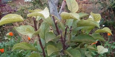 Болеют яблони молодые. Чем и как лечить?
