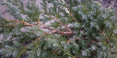 У можжевельников сохнут нижние ветки и иголки, кора выглядит нездоровой. Что это за болезнь и как ее лечить?