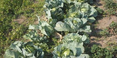Борьба со слизнями без химикатов: гениальный способ спасения капусты