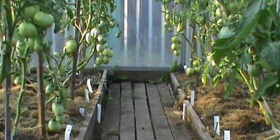Зеленые томаты. Нужен совет по лечению...