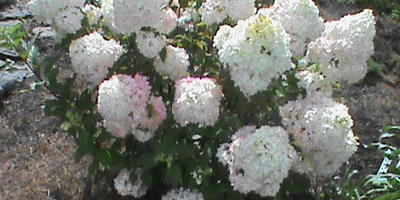 Почему у садовых гортензий сместились сроки цветения?
