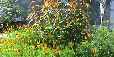 Помогите определить название кустарника