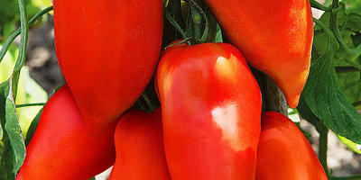 Кто выращивал томат 'Корнабель F1'?