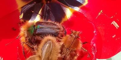 SOS! Помогите определить жука-поедателя тюльпанов!