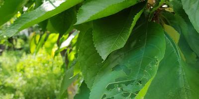Кто грызет листики черешни?