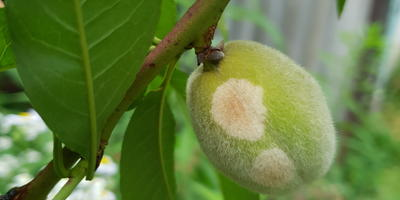 Подскажите, пожалуйста, что за пятна на плодах персика?