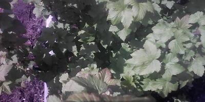 На чёрной смородине листики с темными красновато-фиолетовыми прожилками, малина с чёрными пятнами на стволе, но при этом чистый лист. Что это?