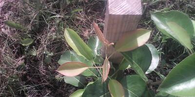 Листья саженца груши изменили цвет. В чем причина?