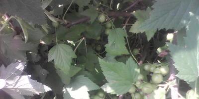 Почему на листьях смородины пятна?