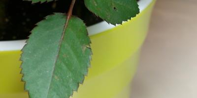 Помогите определить, что за дырочки на листьях комнатной розы?