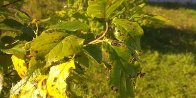 Листья сливы покрылись коричневыми точками и желтеют. И как объедены кем-то. Что это?