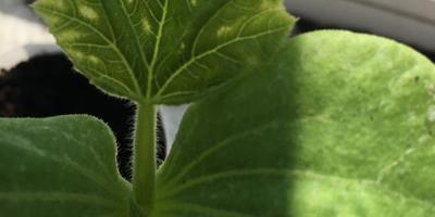 Полупрозрачные пятна на рассаде тыквы. Что делать?